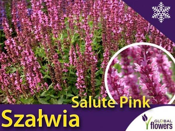 Szałwia omszona Salute Pink sadzonka