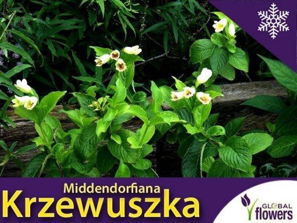 Krzewuszka 'Midendorfiana' (Weigela) Sadzonka