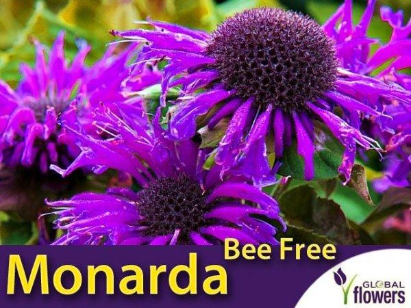 Pysznogłówka Monarda Bee Free Sadzonka
