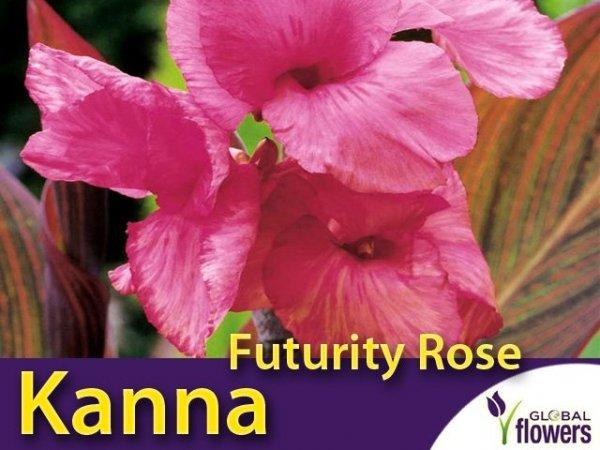 Kanna brązowolistna-niska 'Futurity Rose' (Canna x generalis) Kłącza