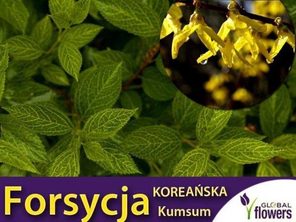 Forsycja Koreańska 'Kumsum' (Forsythia Koreana) Sadzonka