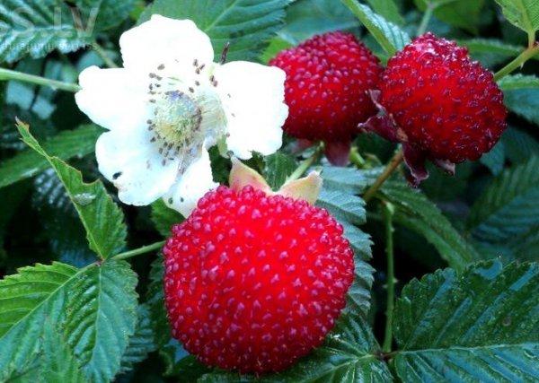 malina ponętna owoce