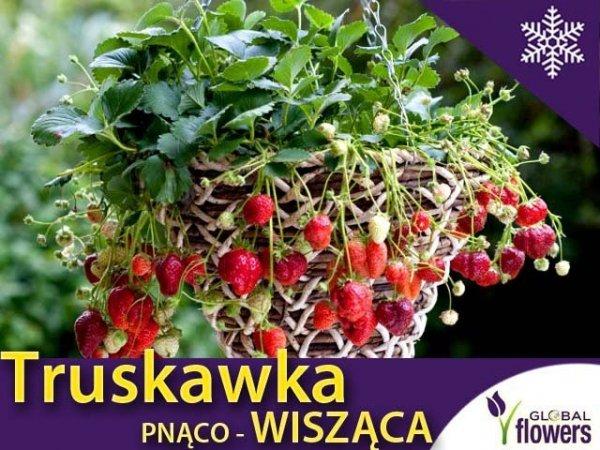 Truskawka Pnąco-wisząca (Fragaria x ananassa) Sadzonka