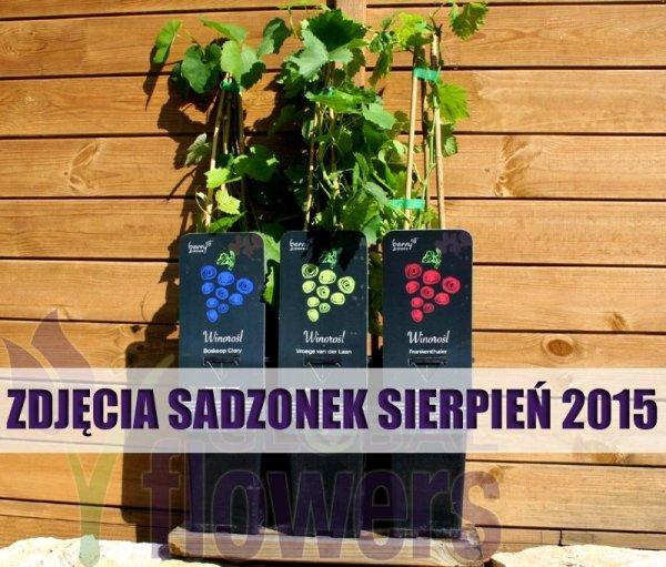 Winorośl odmiana deserowa i na wino