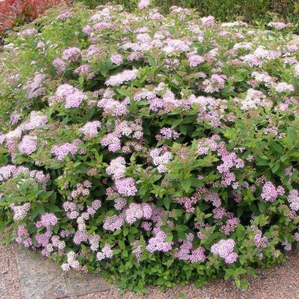 Spiraea japonica sprzedaż wysyłkowa