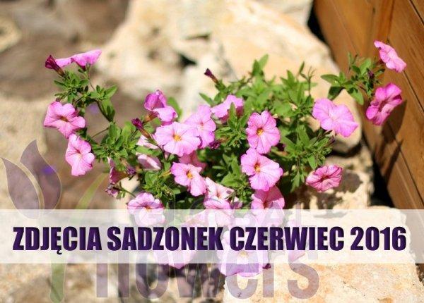 Petunia, Różowe kwiaty, sadzonka