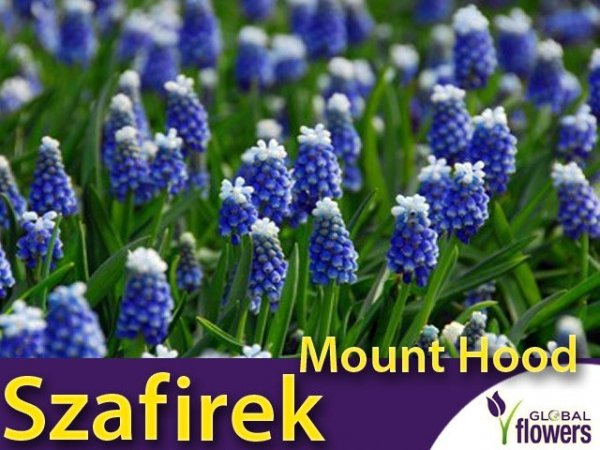 Szafirek Auchera 'Mount Hood' (Muscari)