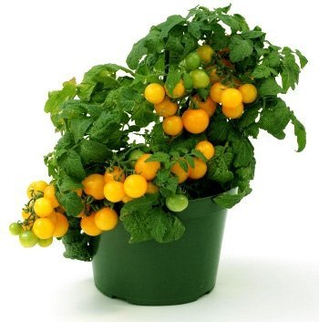 Pomidor Sungella Cherry Yellow (Lycopersicon Esculentum)
