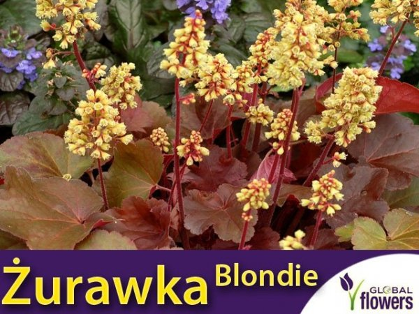 Żurawka Heuchera Little Cutie 'Blondie'