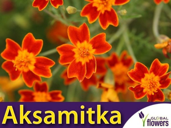 Aksamitka wąskolistna Red Gem (Tagetes tenuifolia)