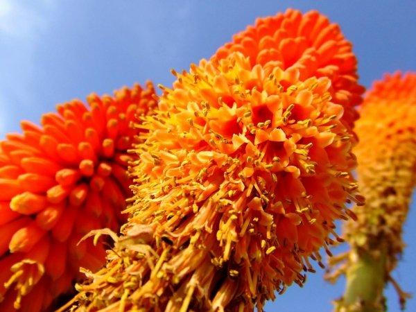 Trytoma pomarańczowa gdzie kupić