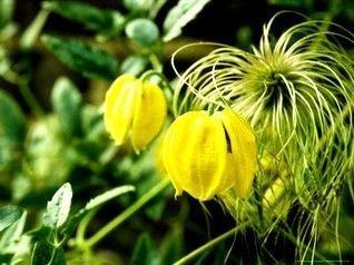 Piękne żółte kwiaty powojnika