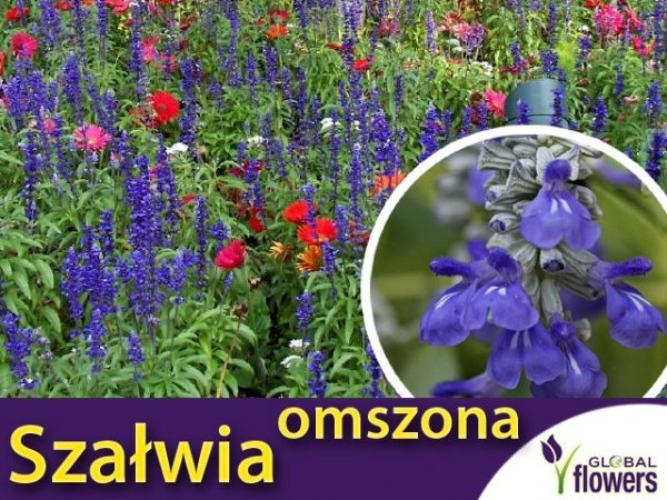 Szałwia omszona, fioletowoniebieska