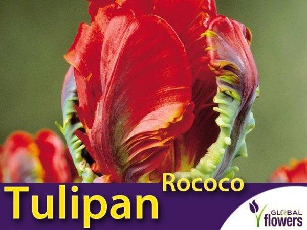 Tulipan Papuzi 'Rococo' (Tulipa) CEBULKI