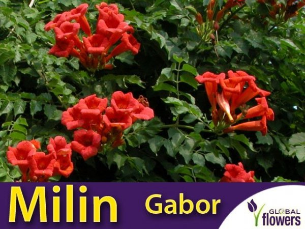 Milin Amerykański Gabor (Campsis radicans) Sadzonka