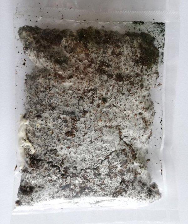 żywa grzybnia grzybów jaladlnych