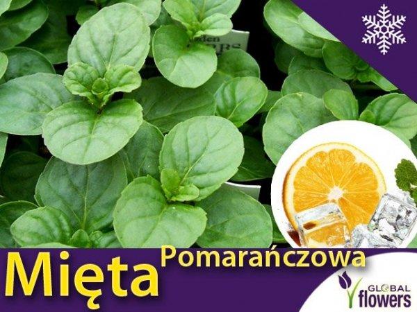 Mięta Pomarańczowa (Mentha x piperita) Sadzonka C1