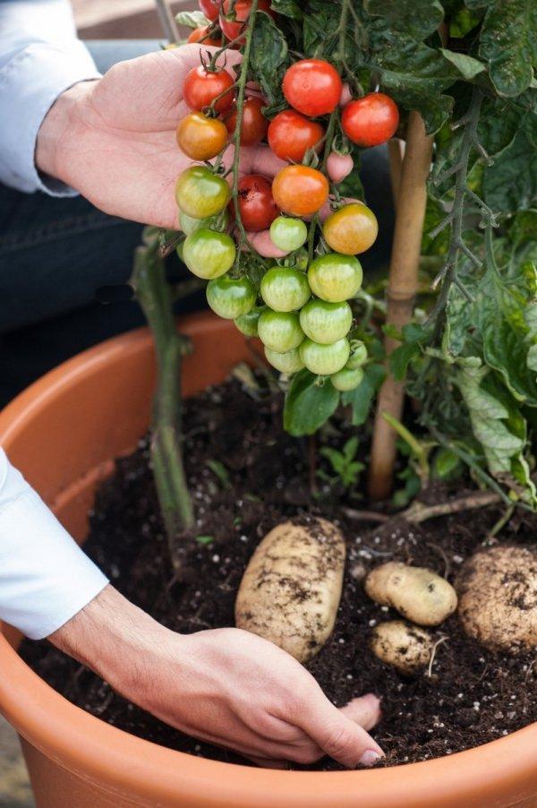 Pomidoro-ziemniak Sadzonka TomTato® sadzonki