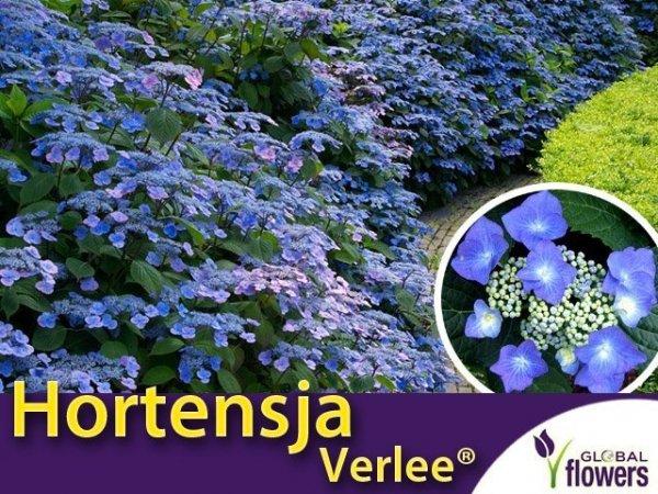 Hortensja piłkowana 'Verlee ®' (Hydrangea serrata) sadzonka