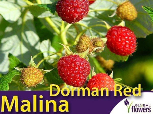 Malina czerwona Dorman Red (Rubus idaeus) Sadzonka
