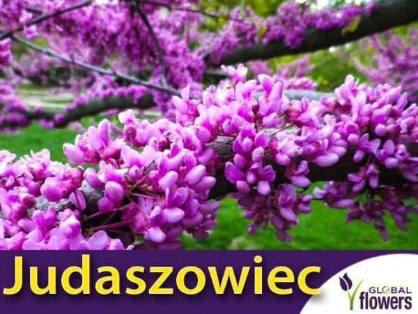 Judaszowiec Kanadyjski (Cercis canadensis) Nasiona