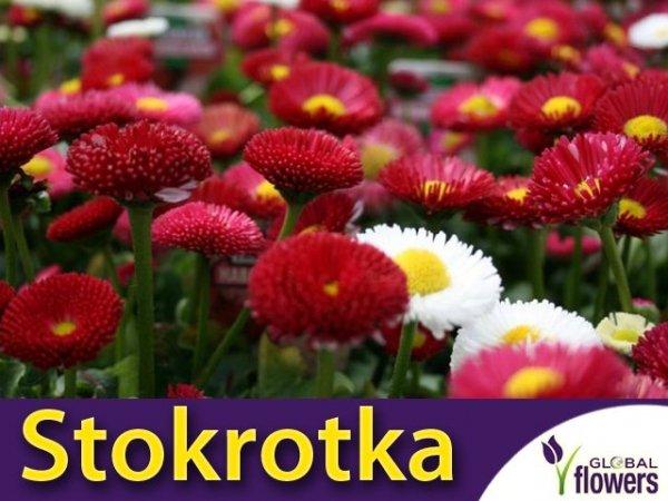 Stokrotka pospolita Pomponette mieszanka (Bellis perennis) nasiona 0,1g