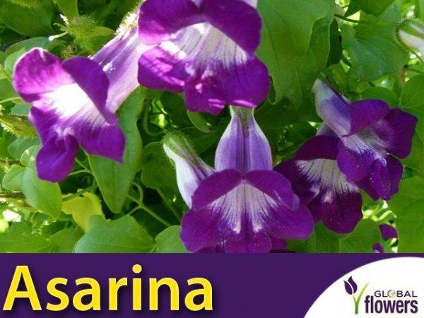 Asarina (Asarina scandens)
