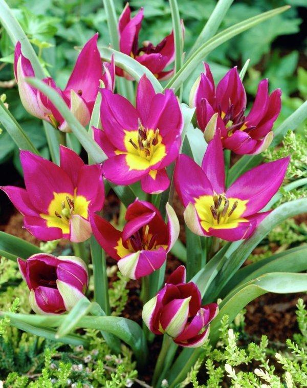cebulki tulipanów