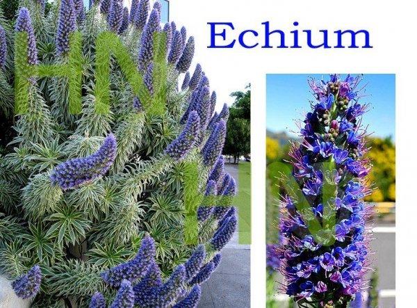 Żmijowiec Szmaragdowy (Echium fastuosum)