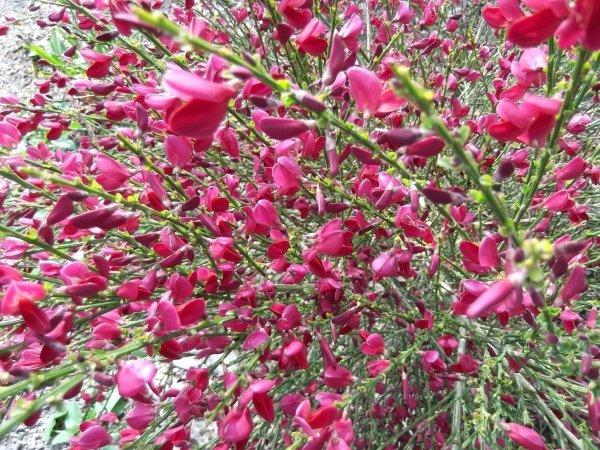 żarnowiec krzew odmiany