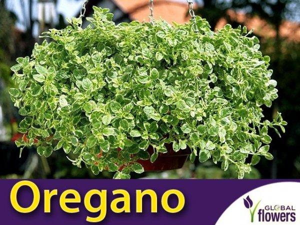 Oregano 'Variegata' (Origanum vulgare) Sadzonka