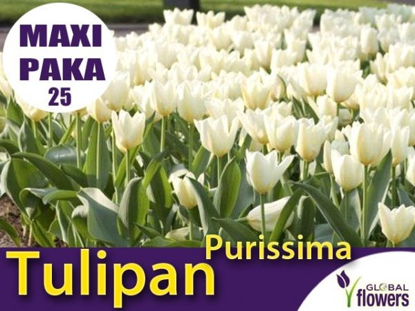 MAXI PAKA 25 szt Tulipan 'Purissima' (Tulipa) CEBULKI
