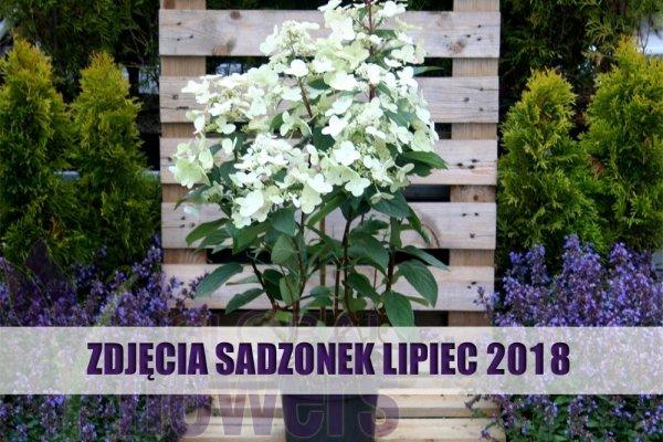 Hortensja bukietowa LEVANA 'Cov' ® (Hydrangea arborescens) Sadzonka C3 40-60cm