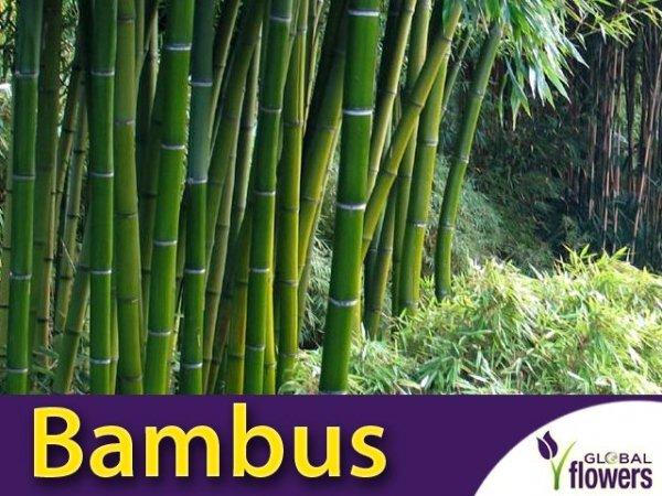 Bambus mrozoodporny Phyllostachys nasiona