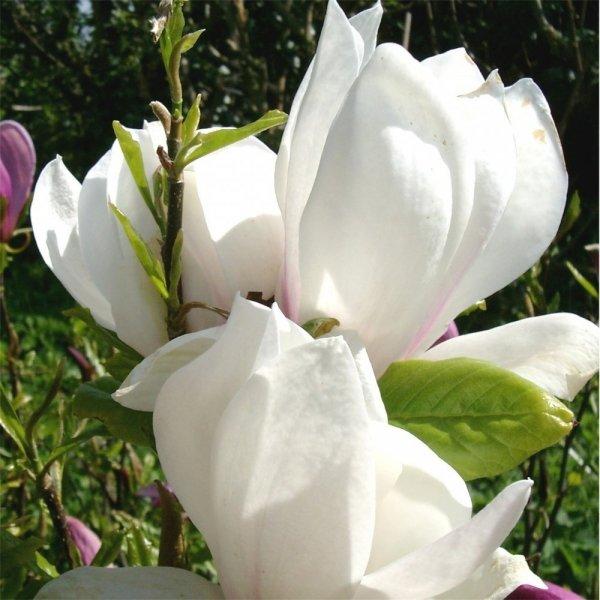 Magnolia ×soulangeana uprawa