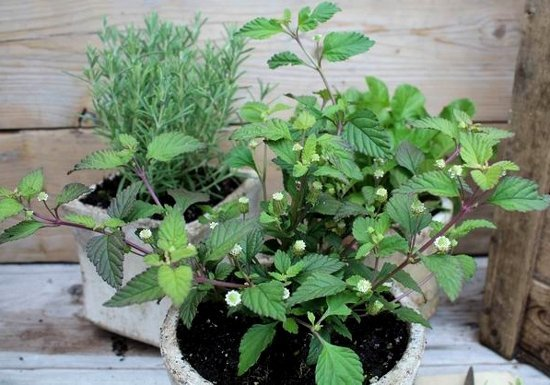 Azteckie ziele zastosowanie w kuchni