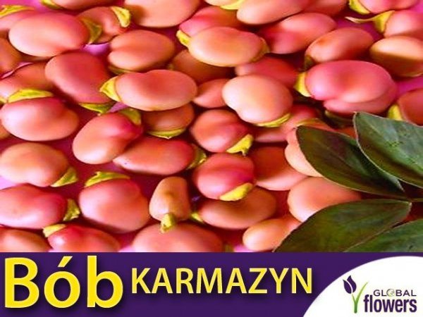 Bób Karmazyn (Vicia faba)