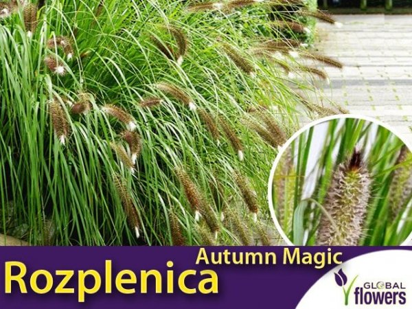 rozplenica AUTUMN MAGIC sadzonka