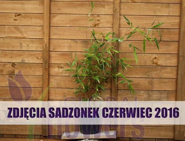 Bambus na balkonie, bambus w ogrodzie