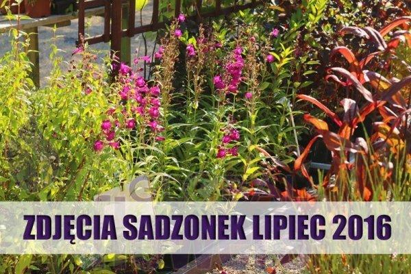 Uprawa penstemon, ogród wiejski, ogród w stylu angielskim