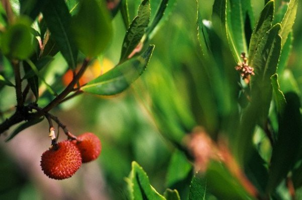Zdrowe ładne sadzonki drzewka truskawkowego