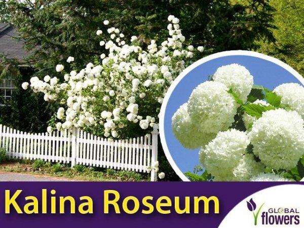 Kalina koralowa 'Roseum' (Viburnum opulus) Sadzonka