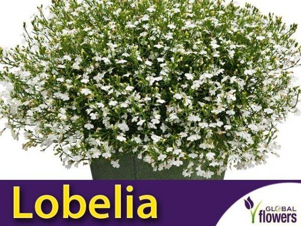 Lobelia przylądkowa, Stroiczka biała (Lobelia erinus) nasiona 0,1g