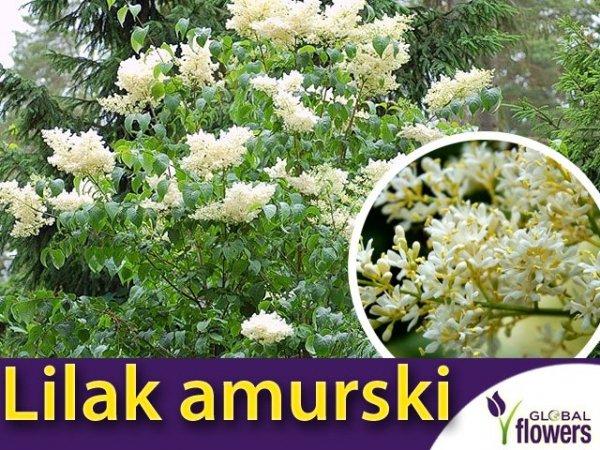Lilak amurski