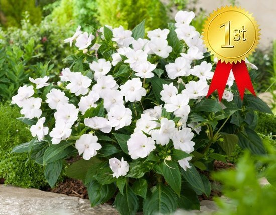 Impatiens SunPatiens Vigorous White