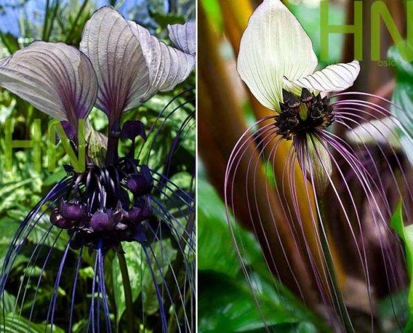 Kwiat Nietoperz Biały