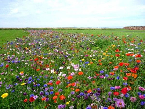 miododajny trawnik cena
