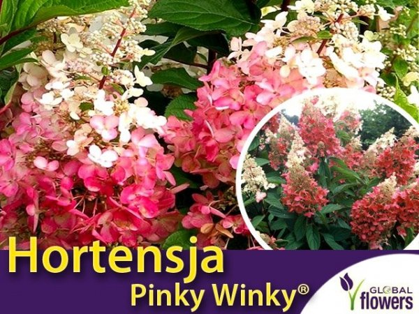 Hortensja Bukietowa 'Pinky Winky'