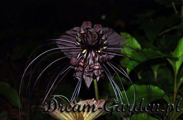Kwiat Nietoperz Czarny (Tacca Chantrieri )