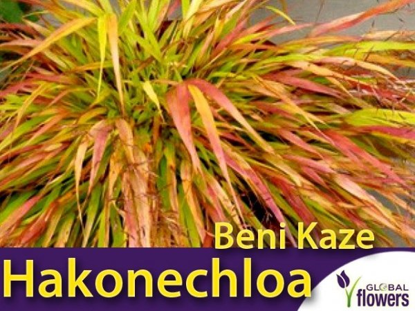 Hakonechloa macra 'Beni Kaze'- Bambusowa trawa- Sadzonka